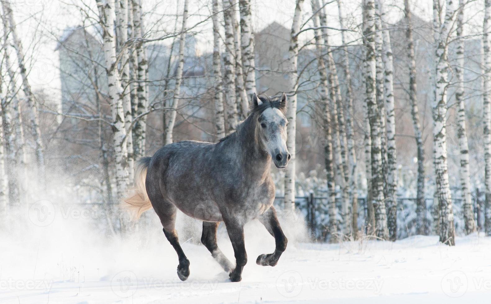 grå häst springer på vintern foto