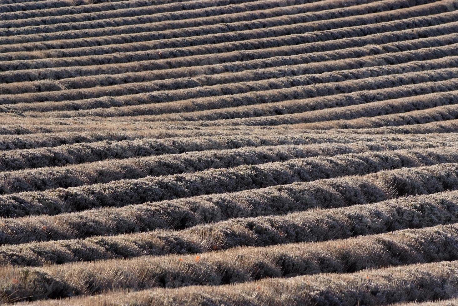 fält av lavendel på vintrar foto