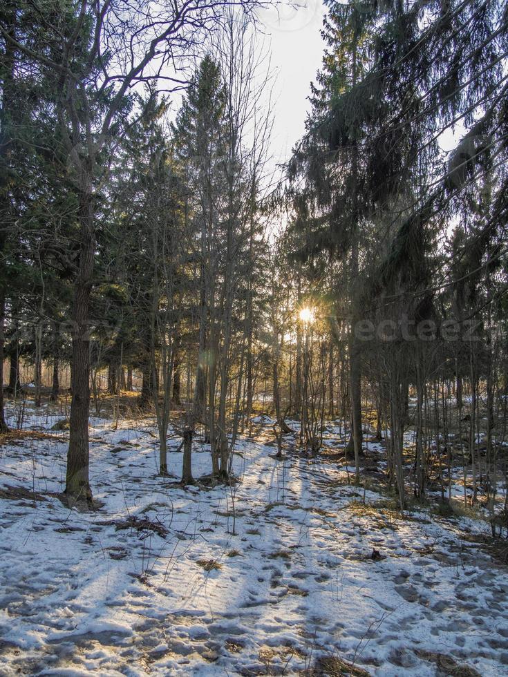 granskog på vintern foto