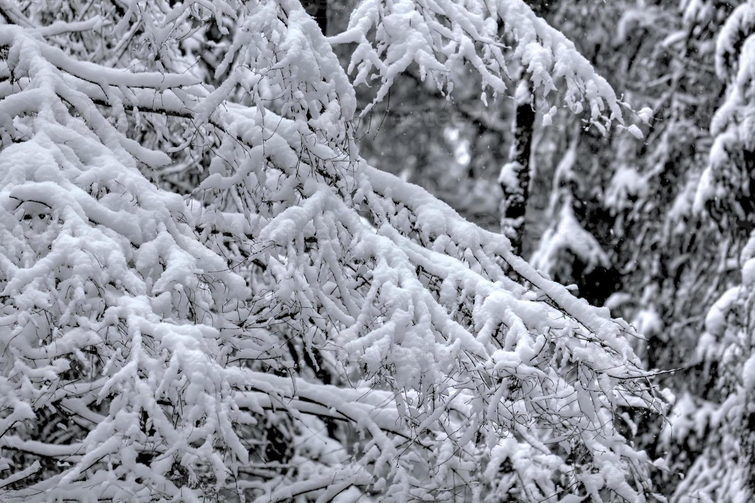vinter skog. snö. foto