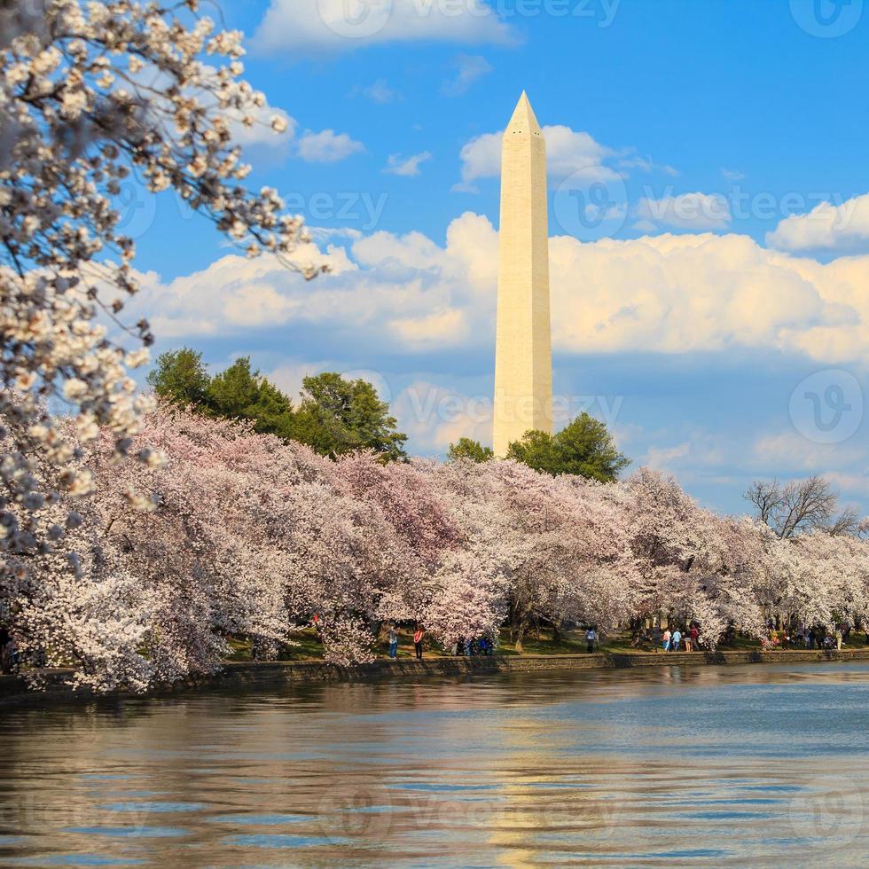 Washington DC körsbärsblomning med sjön och Washington Monument. foto