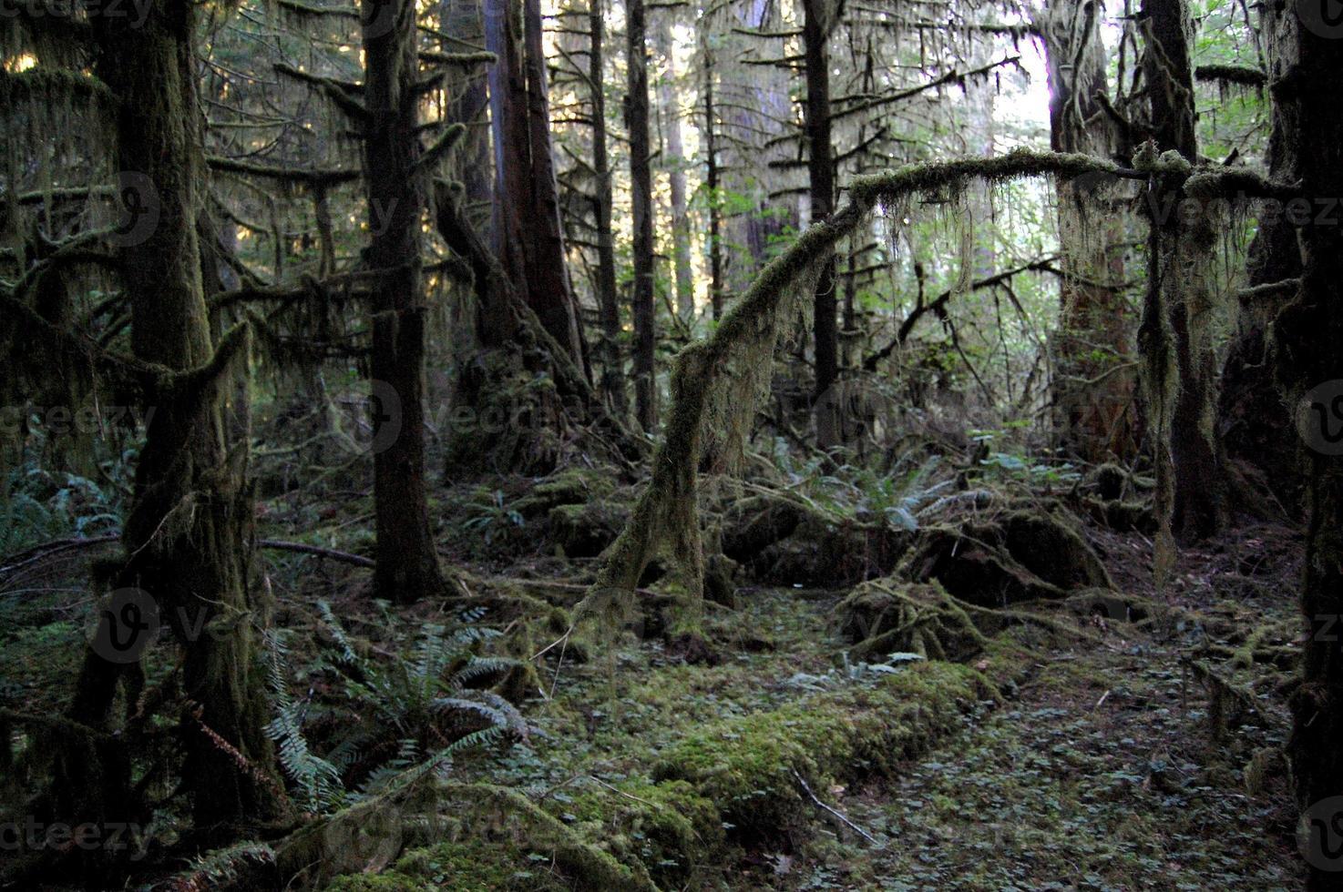Stillahavsområdet douglas granträd foto
