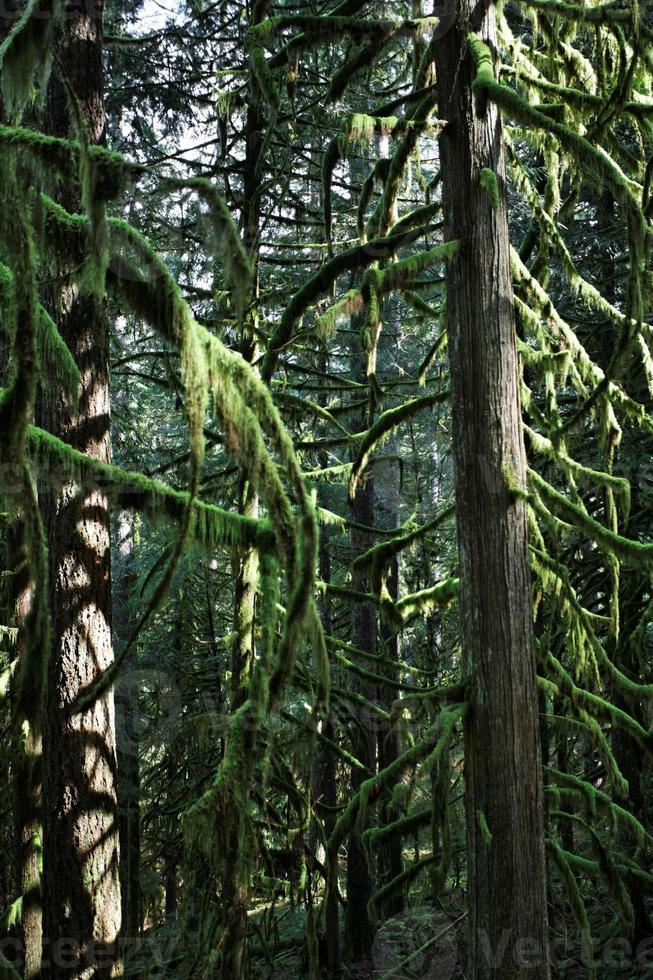 täta granträd i skogen foto