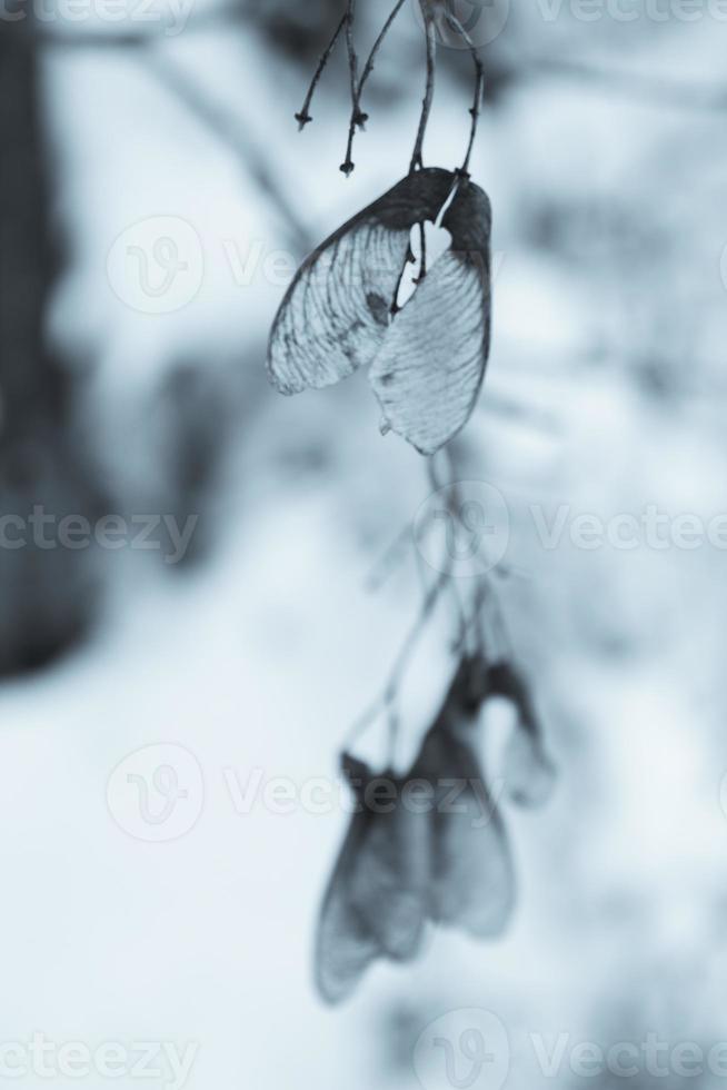 blå lönnträd foto