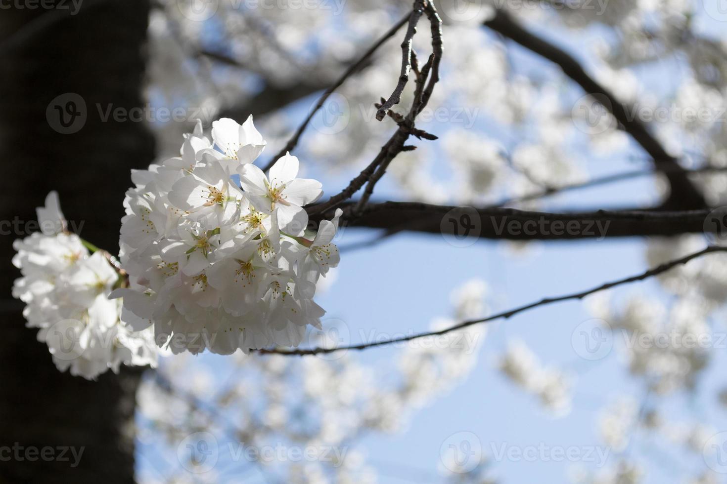 körsbär blommar gäng foto