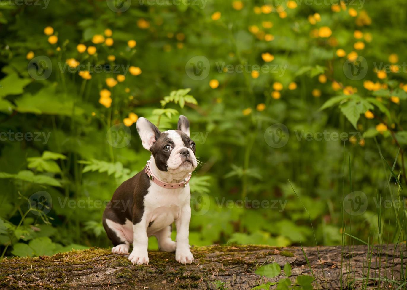 boston terrier fransk bulldoggvalp foto