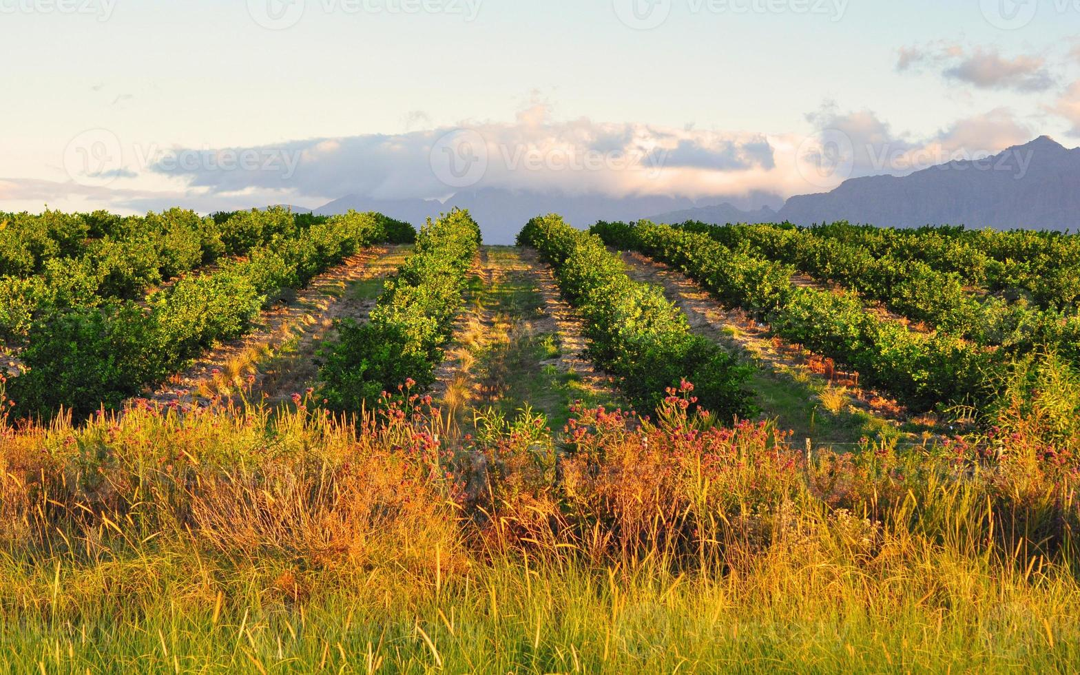 citron fruktträdgård och berg bakgrund foto