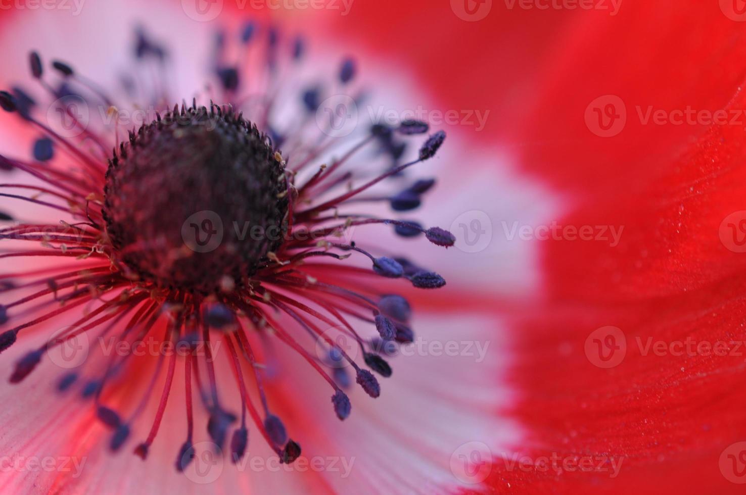 röd vallmoblomma foto