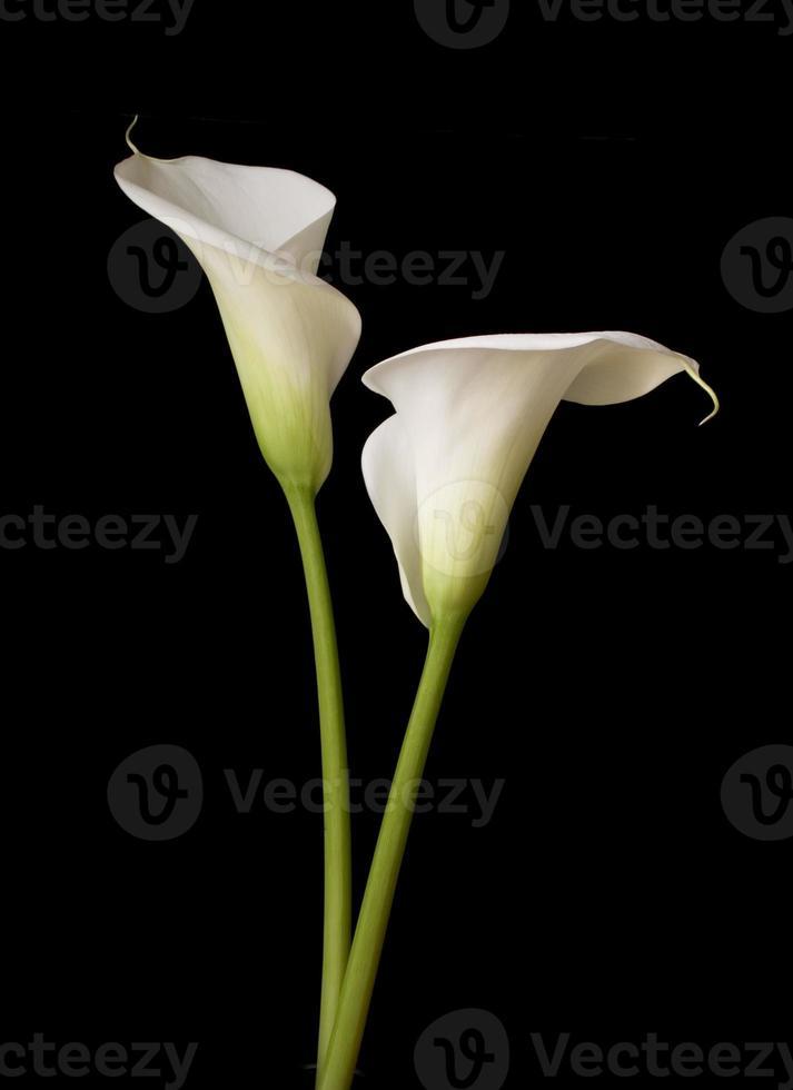calla lily 2 foto