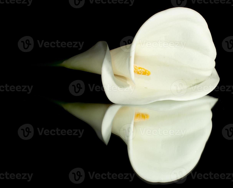 vit calla lilly foto