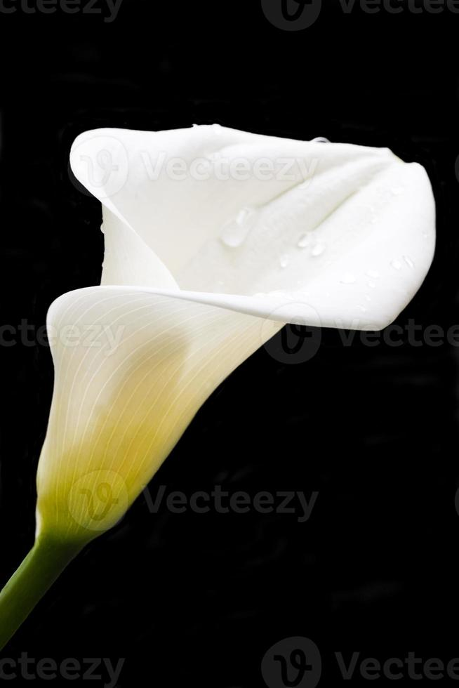 calla lily foto