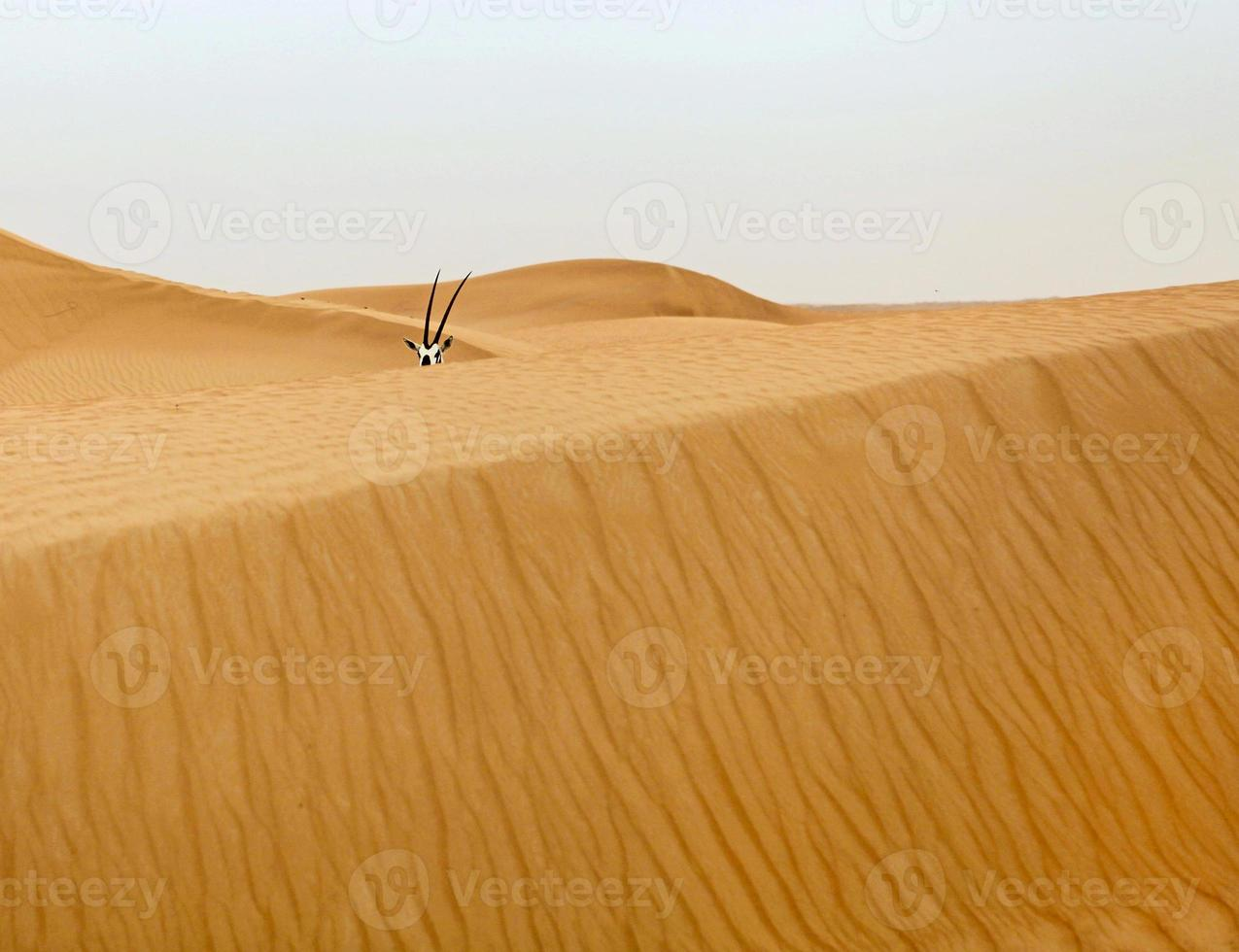 oryx i öknen foto