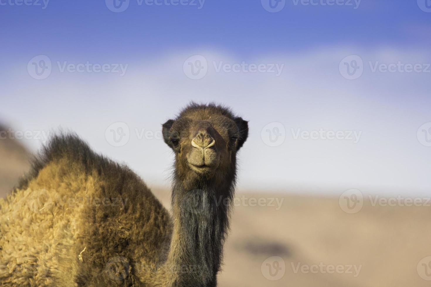 kamel som stirrar på dig i saharaöknen foto
