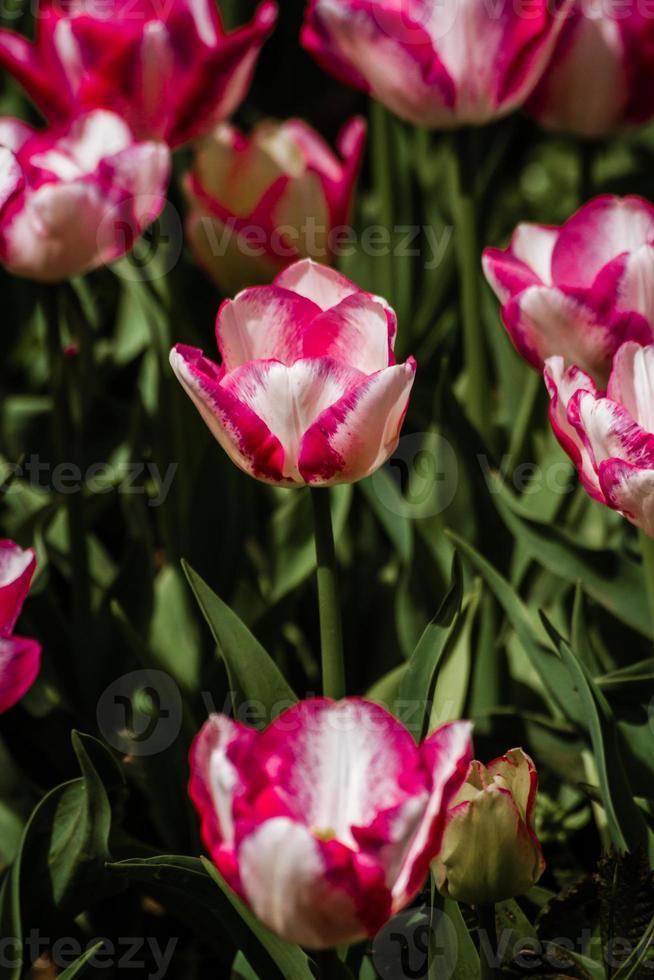 blandning av röda och vitfärgade tulpaner foto