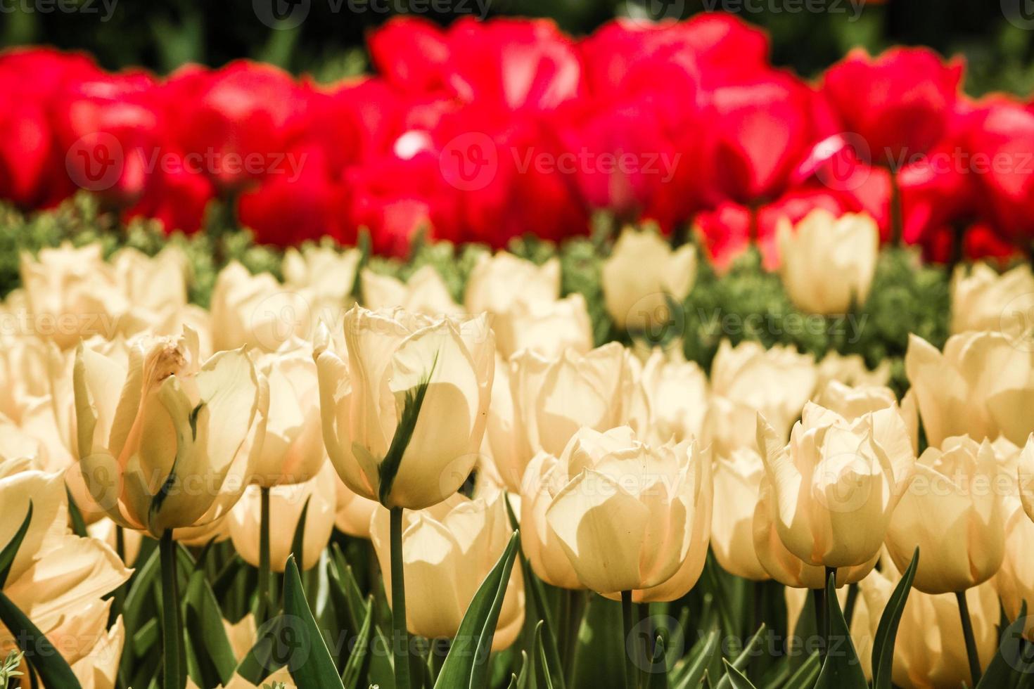 röda och gula tulpaner i blom foto