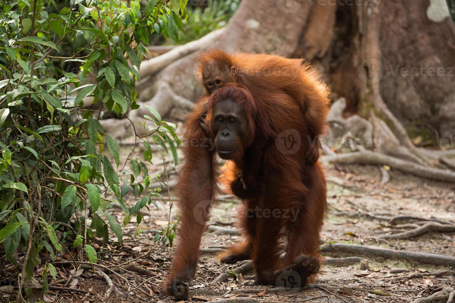 orangutansk familj i borneo. foto