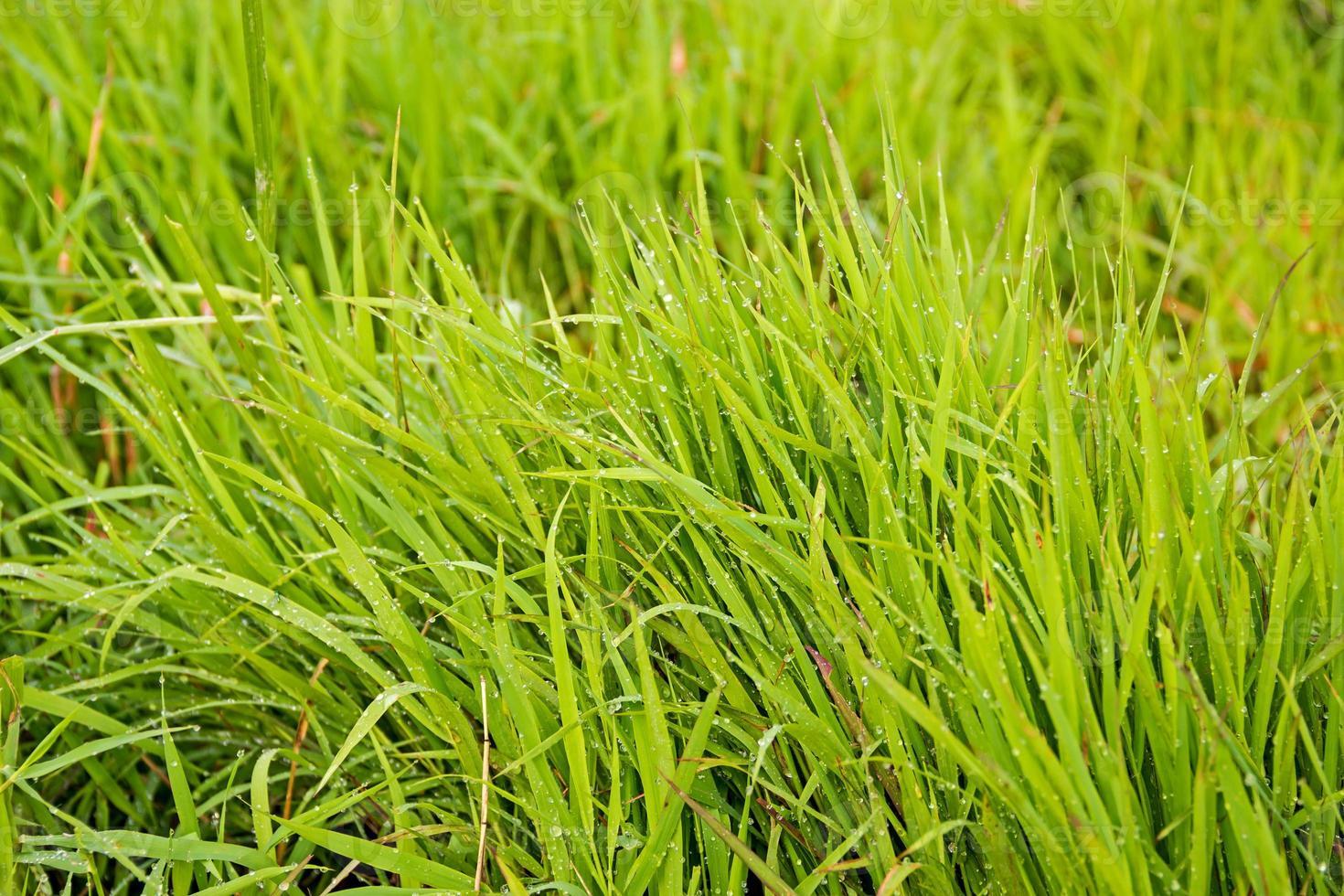 gröna skott av vårgräs i vatten foto