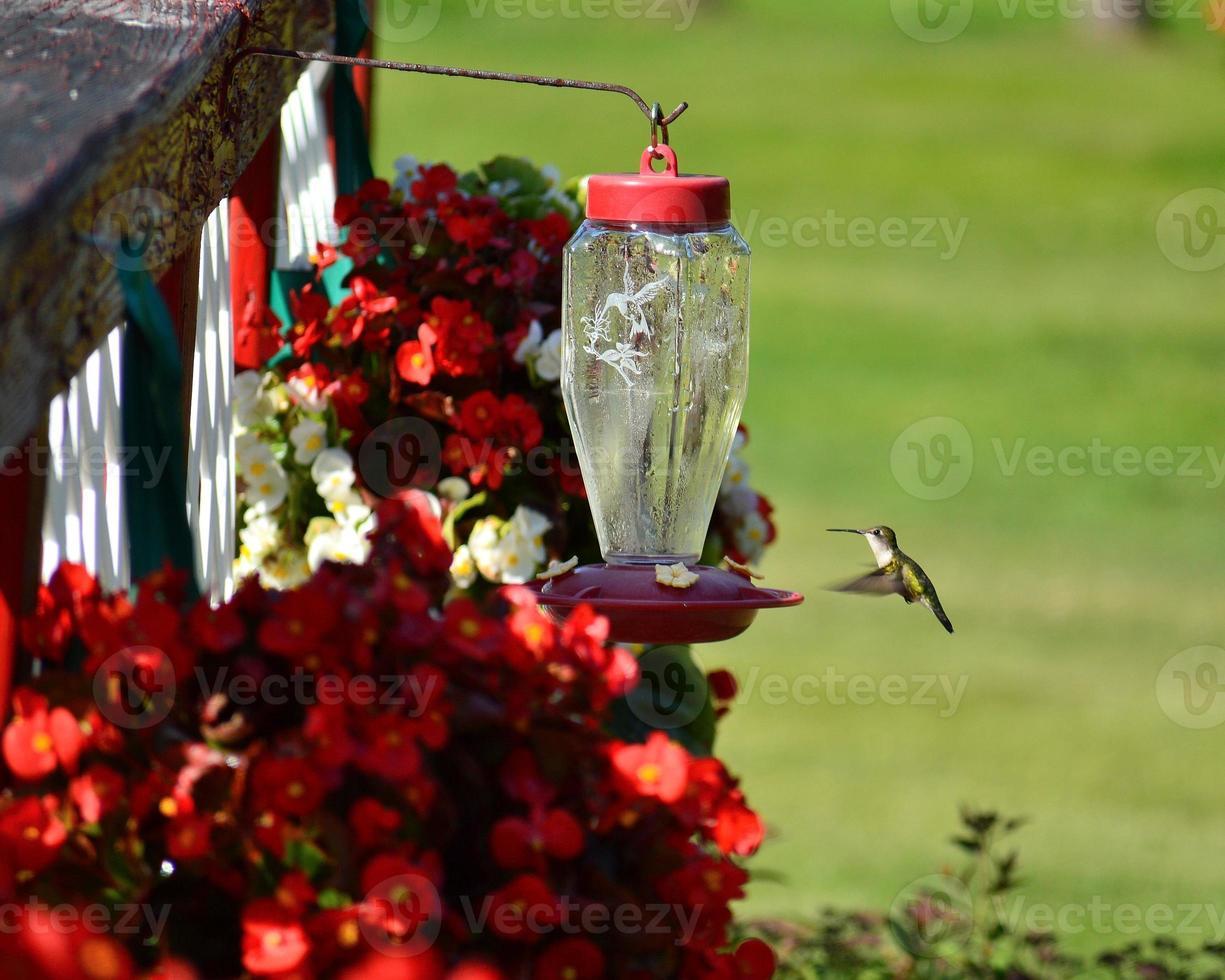 kvinnlig rödstrupen kolibri under flykten foto