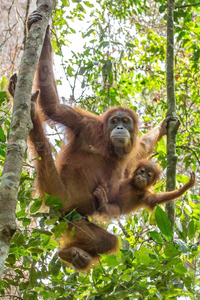 kvinnlig orangutang med en baby foto