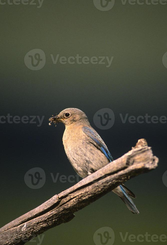 kvinnlig bergblåfågel med insekt foto