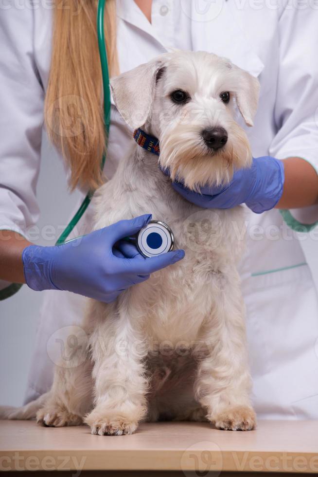 kvinnlig veterinär undersöker liten hund med stetoskop foto