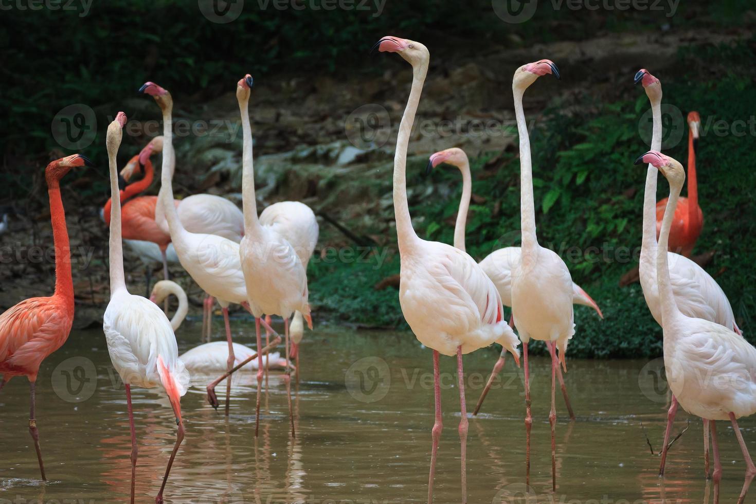 flamingo firande foto
