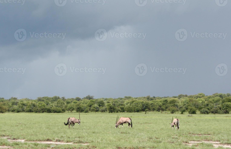 besättning av oryx, grönt grässlätt, åskväder, etosha, namibia, afrika foto