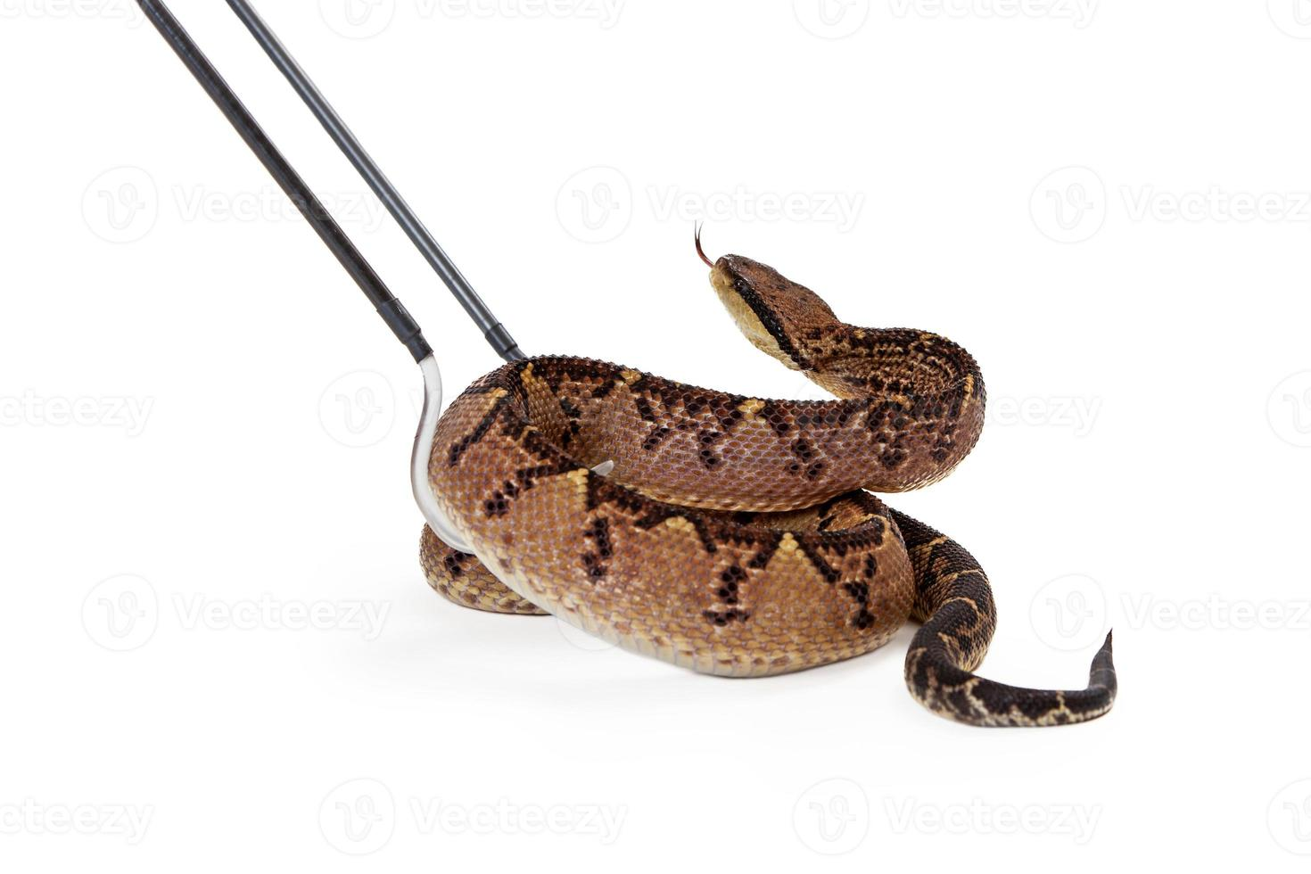 centralamerikanska bushmaster orm som plockas upp foto