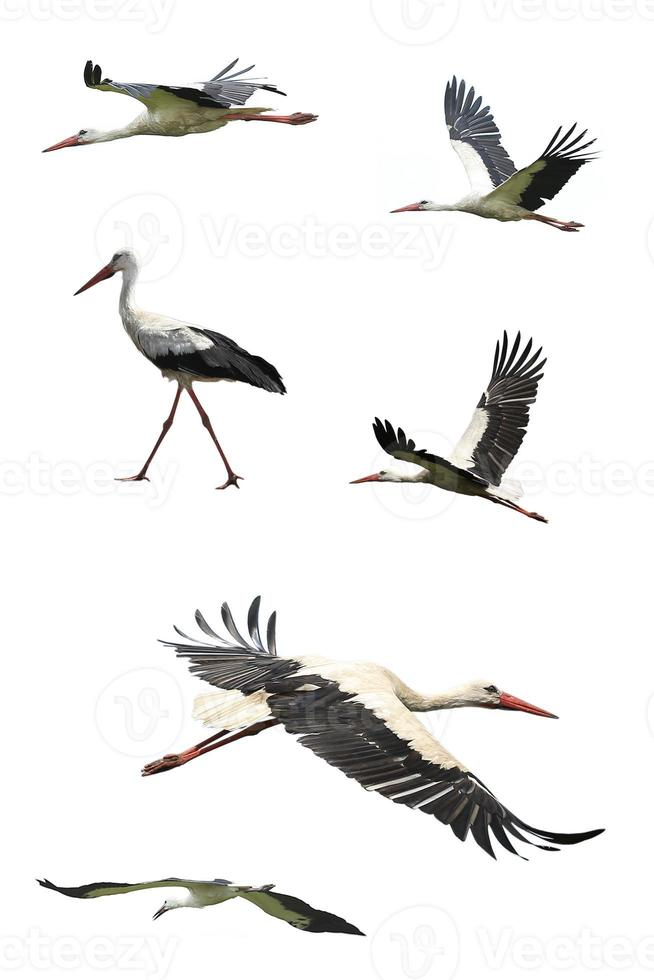 flygande stork foto