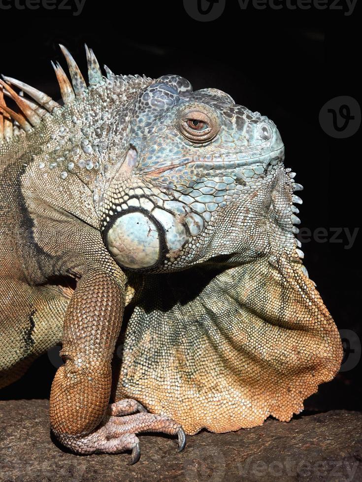 grön leguan (iguana iguana) foto