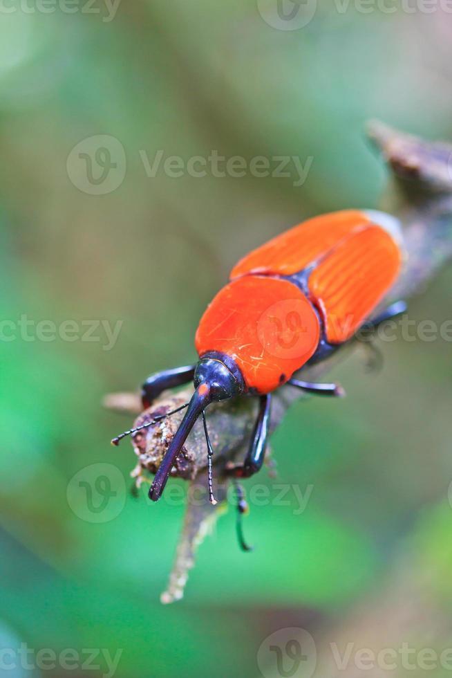 orange skalbagge insekter i tropiska skogar Thailand foto