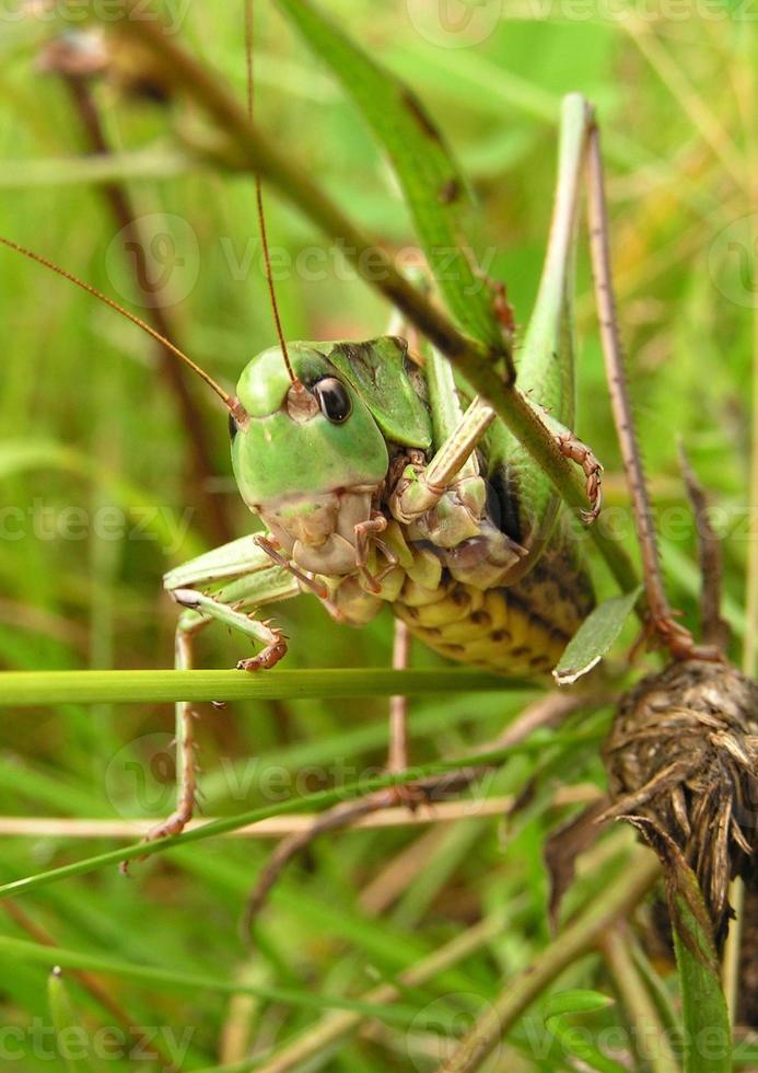gräshoppa. foto