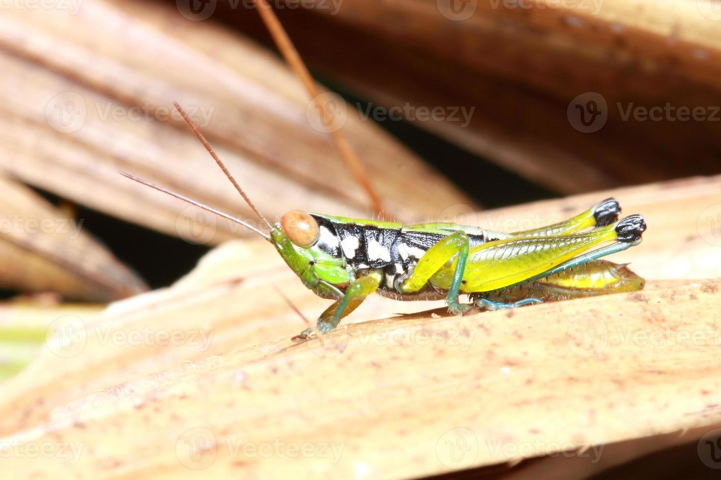 gräshoppa i naturen foto