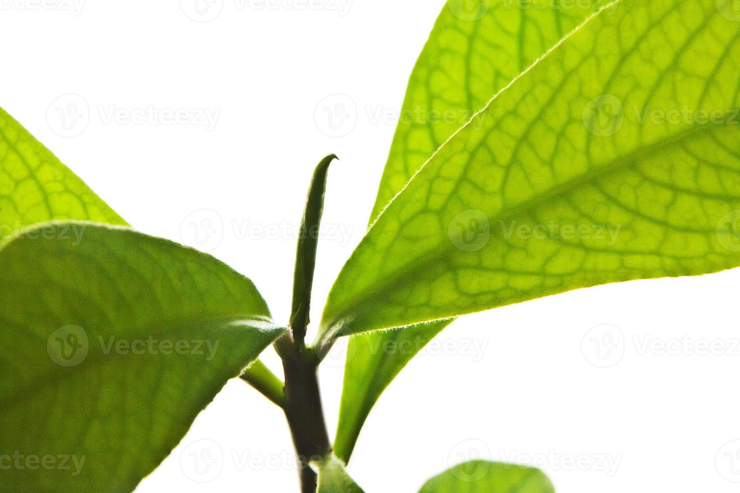 coca leaf foto