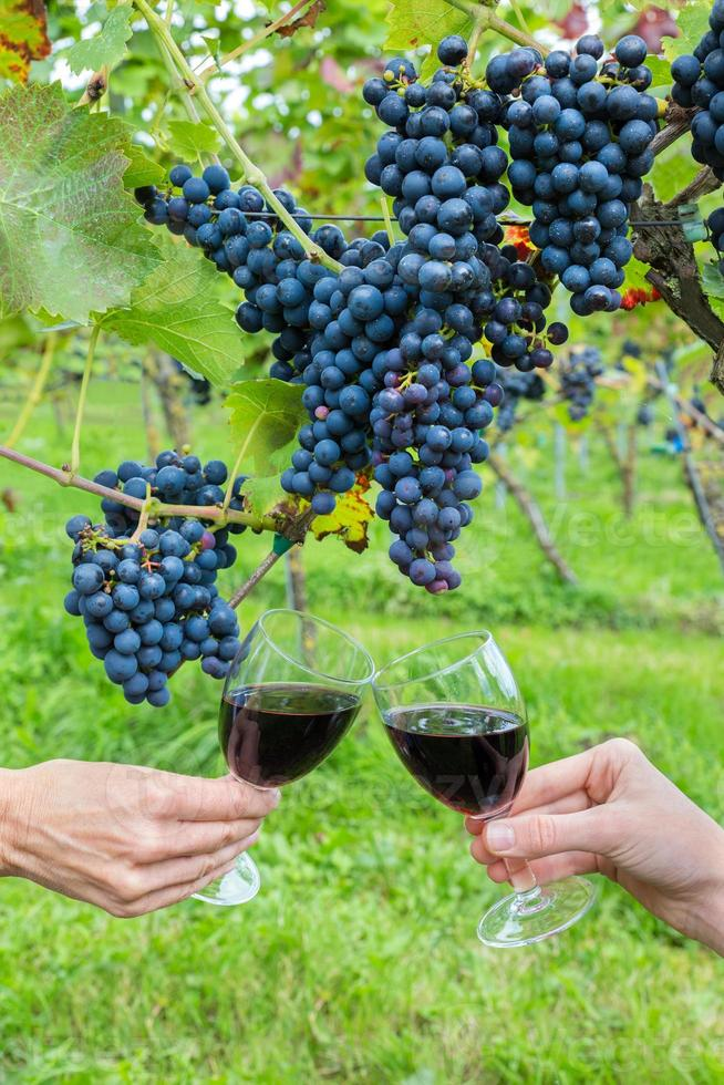 två händer som rostar med rött vin nära blå druvor foto
