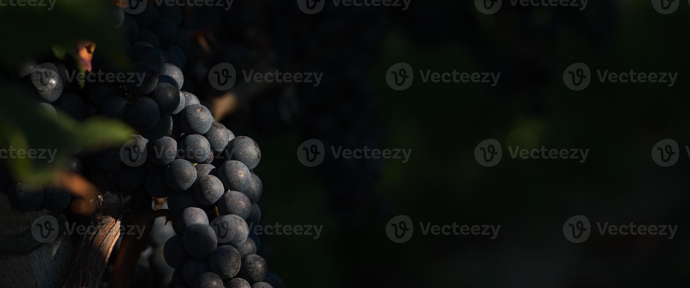 druvor i st-emilionen foto