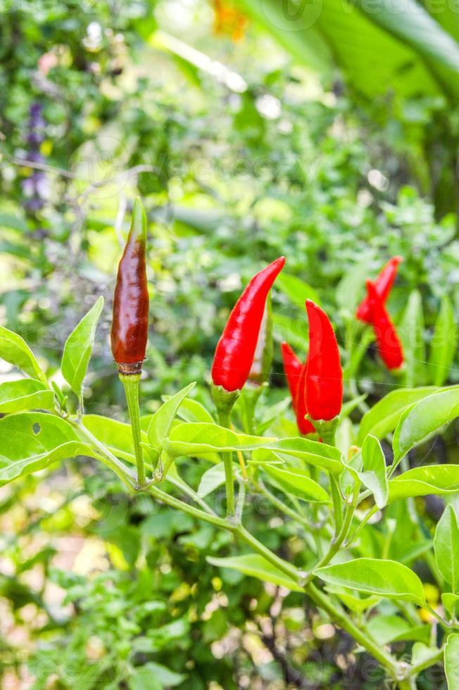 röd paprika träd foto