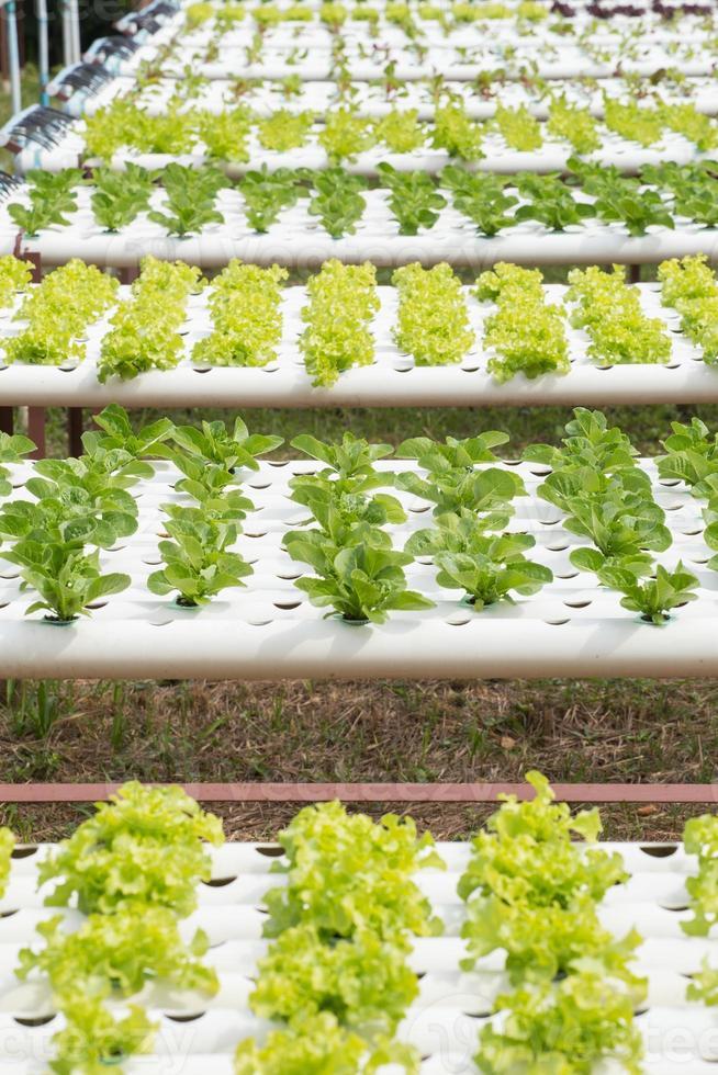hydroponiska grönsaker foto