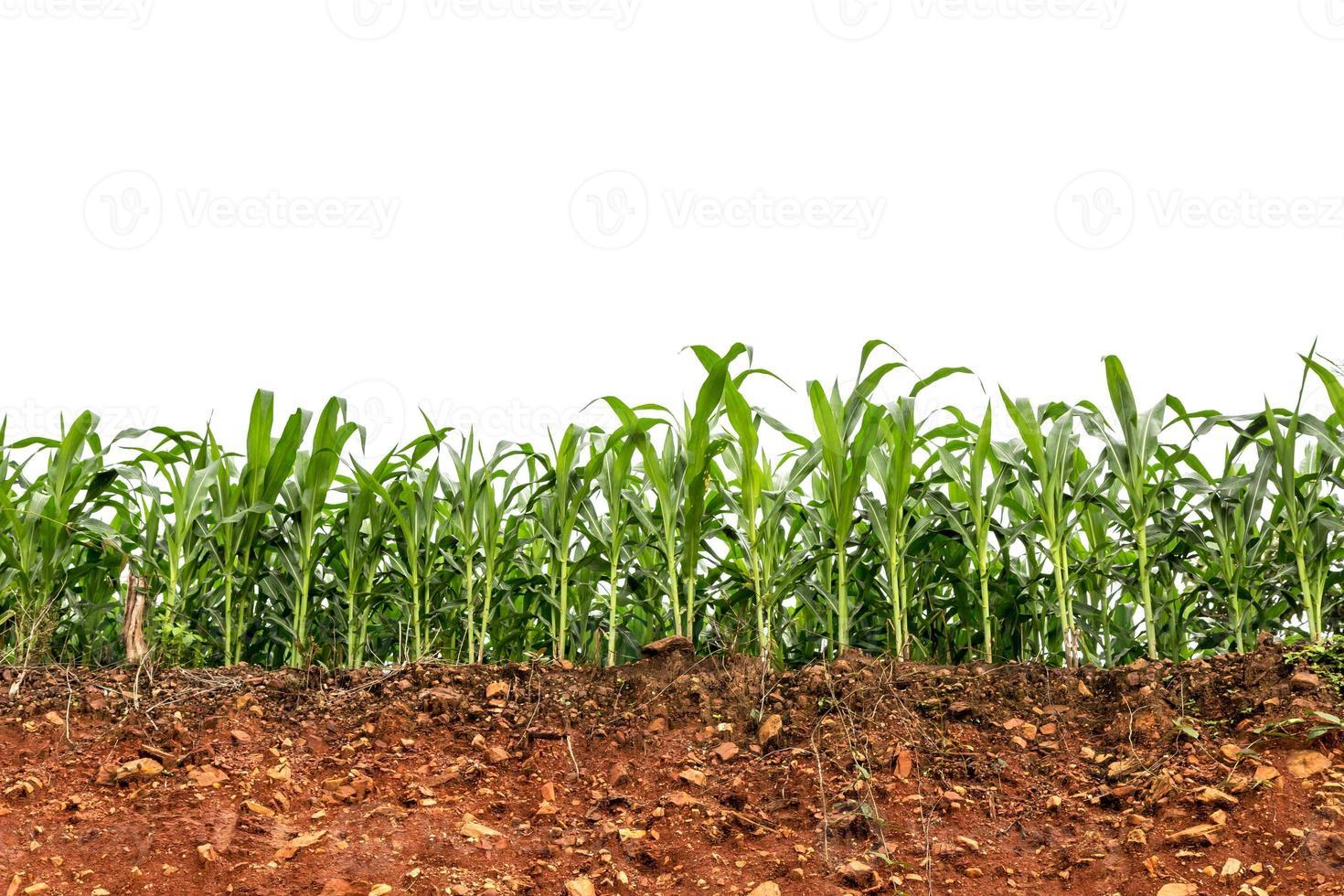 fröplanta majsfält på rött lateritiskt jordtvärsnitt foto