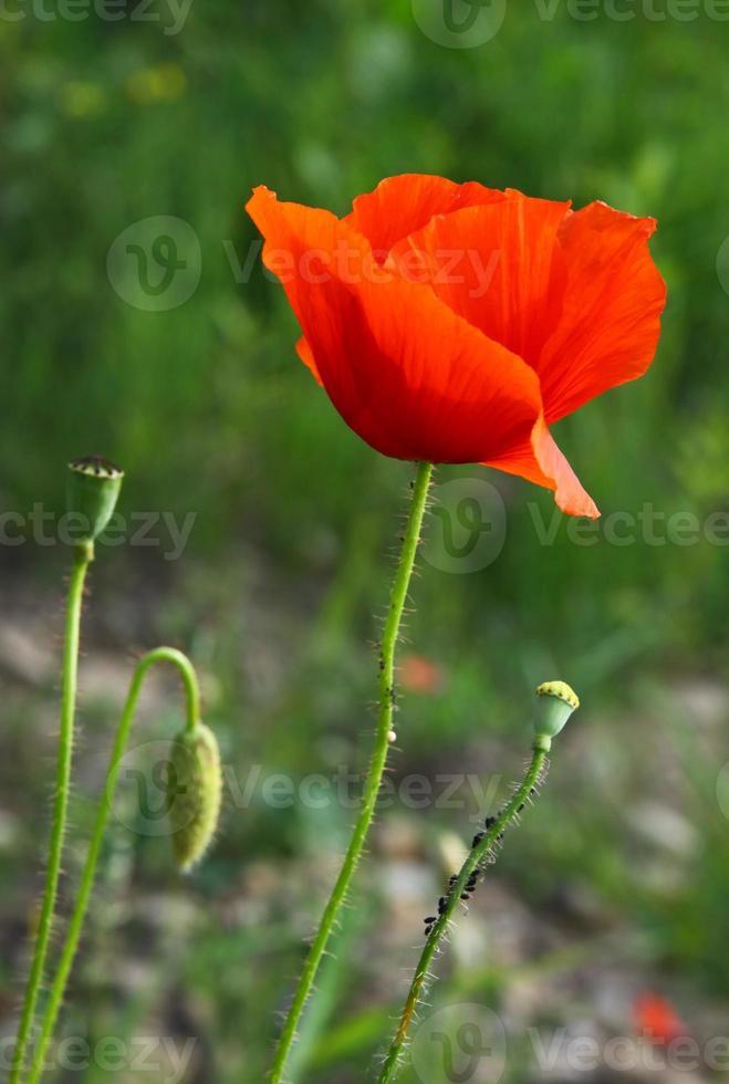 röd blomma av vilda vallmo på ängen foto