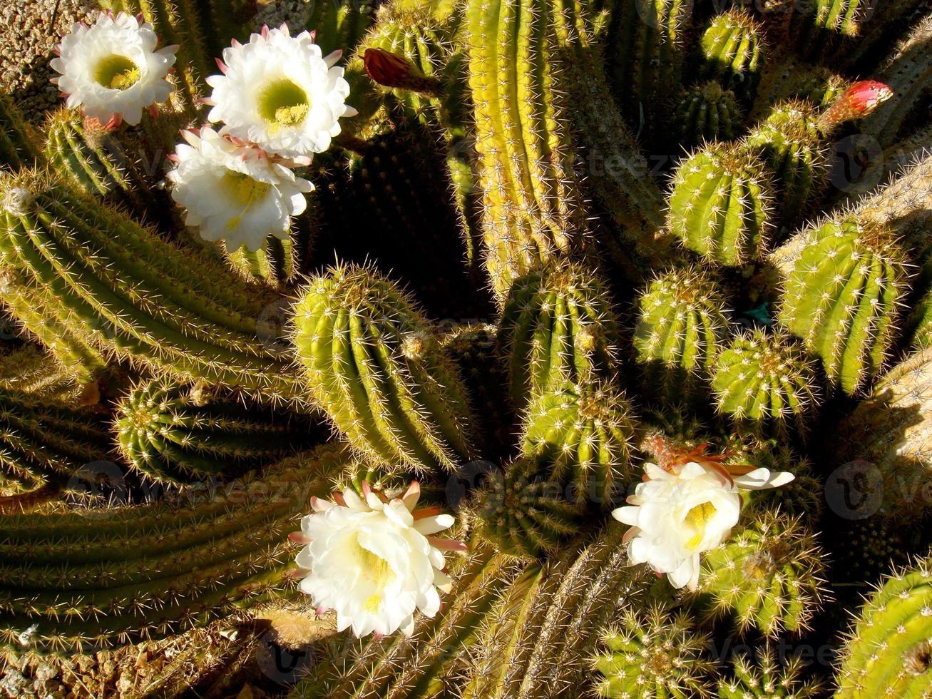 vit blommande pipestone-kaktus i tucson az foto