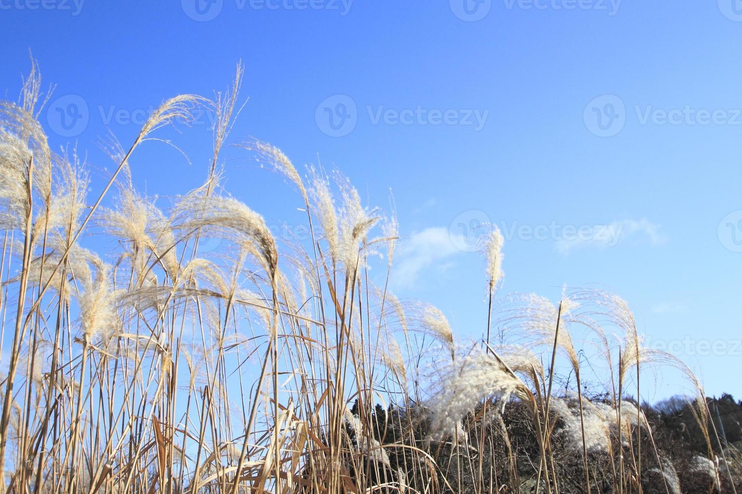 susuki (japanskt pampasgräs) foto