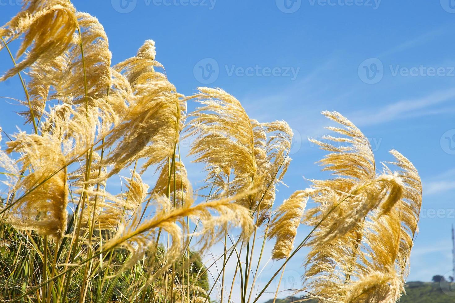 pampas gräs som blåser i vinden mot en blå himmel foto