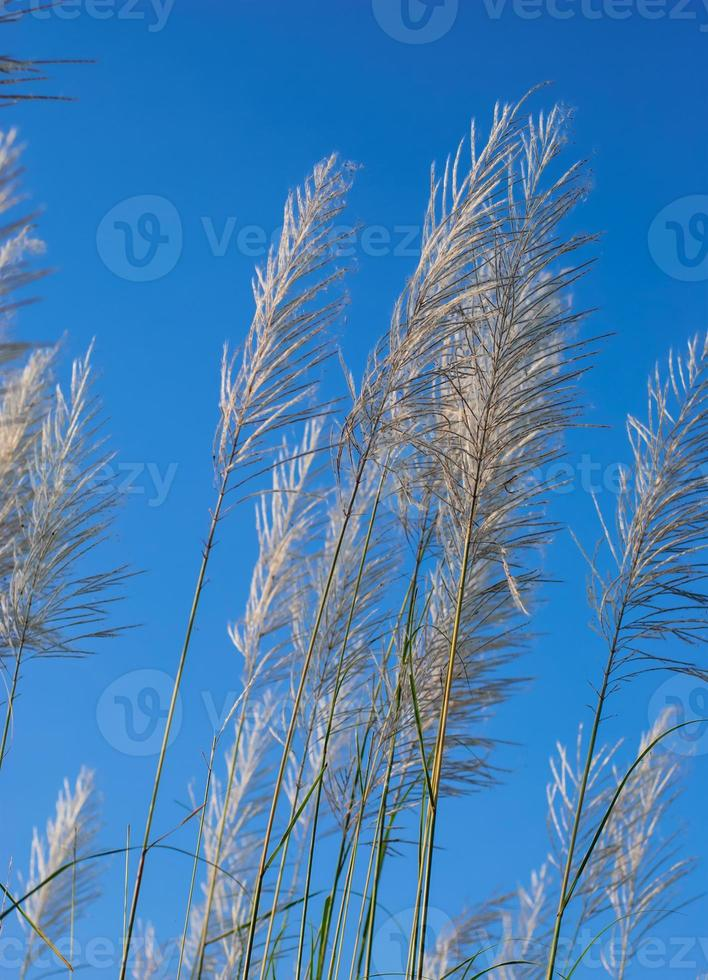 pampas gräsblommor foto