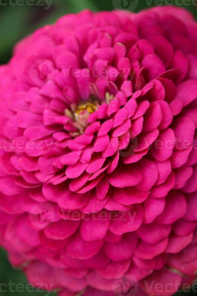 vacker blomma av röd dahlia foto