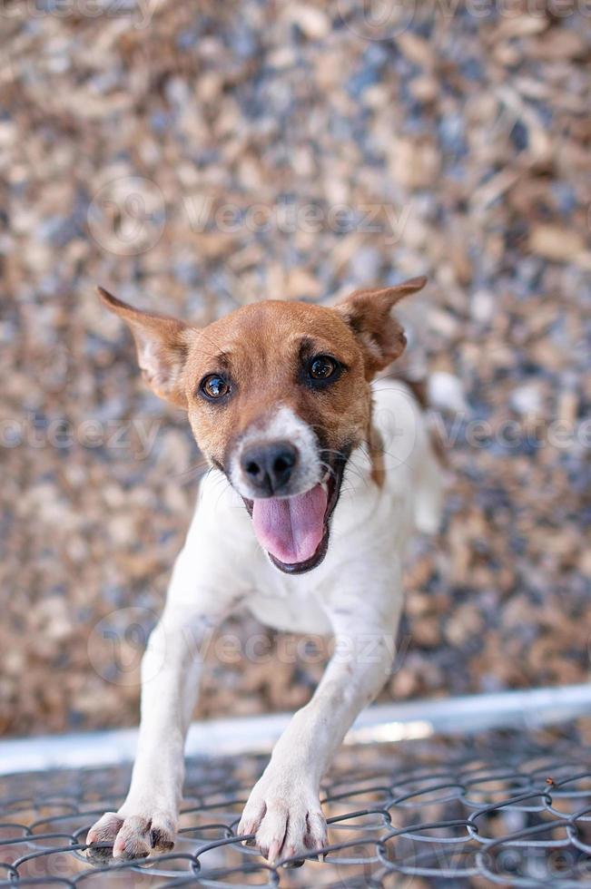 glad råtta terrier hund vid ett kedjelänk staket foto