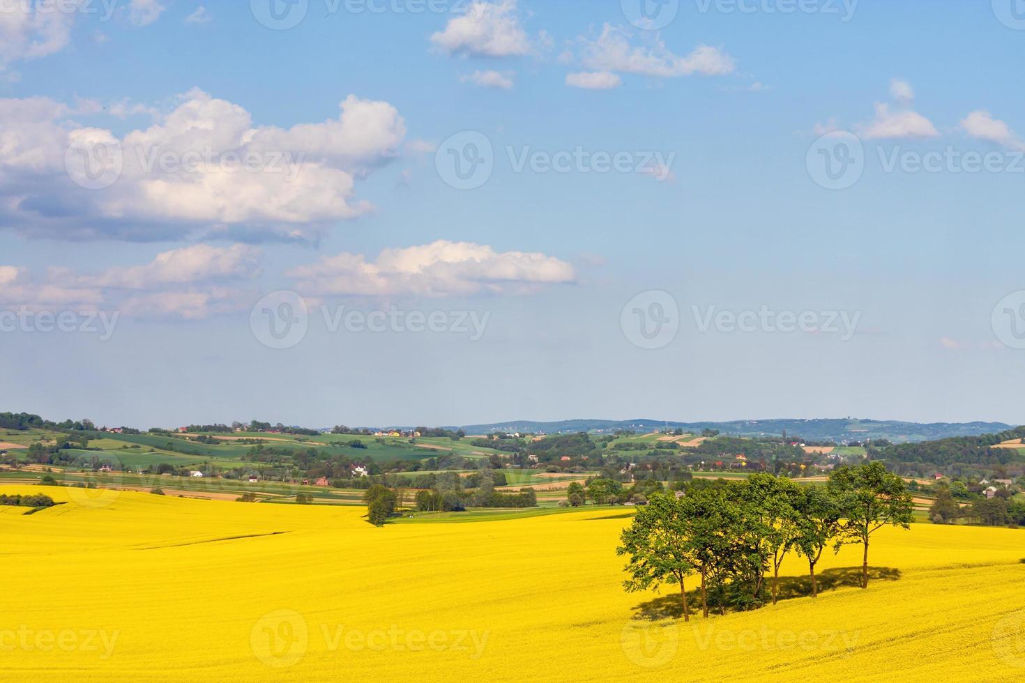 landskap med gult rapsfält foto
