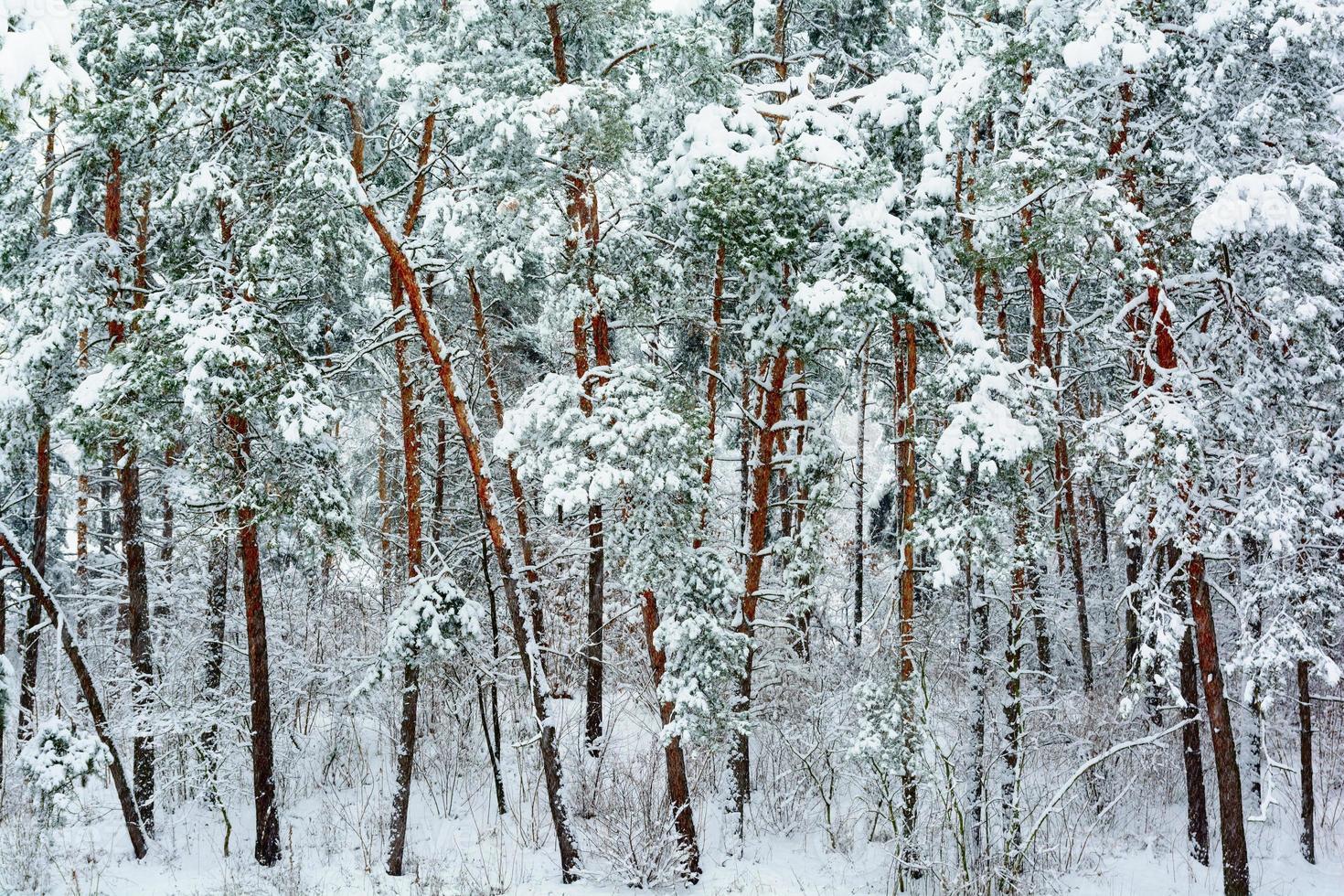 vinter skog bakgrund foto