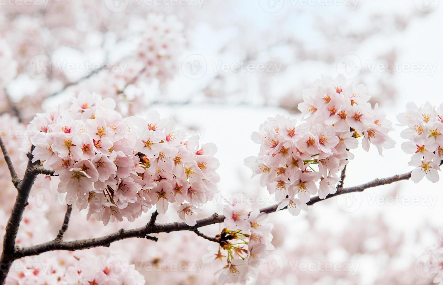 körsbärsblomning med mjukt fokus, sakura säsong i korea foto