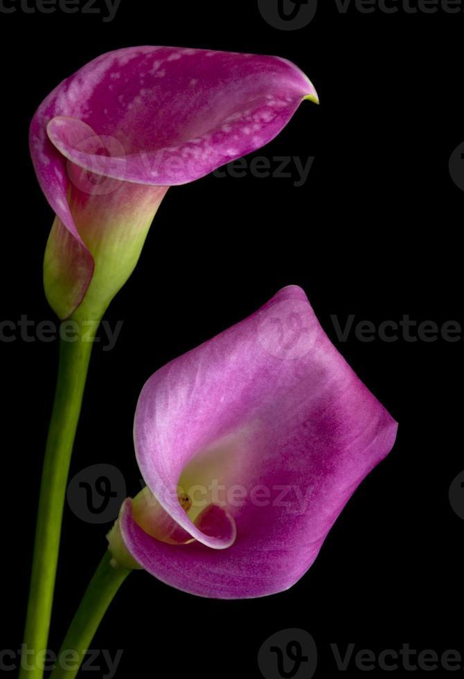 lila calla liljor foto